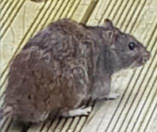 Garden decking triggers Rat plague